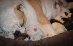 Mother dog nursing Royalty Free Stock Photo