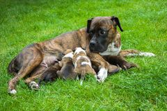 Mother of the dog nursing puppies. On the green grass stock photography