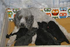 Mother dog. The poodle breed, nurses her cubs Stock Image