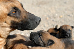 Mother dog and puppies Royalty Free Stock Photography