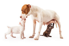 Mother Dog with Puppies Stock Images