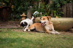 Mother dog and puppies royalty free stock photo