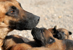 Mother dog and puppy Royalty Free Stock Photo