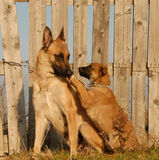 Mother dog and puppy. Female purebred belgian shepherd malinois and her puppy Royalty Free Stock Photos