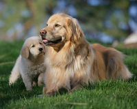 Mother dog and puppy stock photo