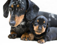 Mother dogs and puppy Stock Images