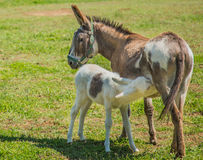 Mother. Donkey feeds her baby Stock Photography