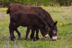 Mother donkey with her little puppy Royalty Free Stock Photos