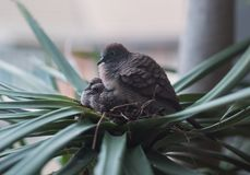 A mother dove is sitting on two baby birds in the warm nest.  royalty free stock photo