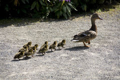 Free Mother Duck And Baby Ducks Royalty Free Stock Photos - 31359628