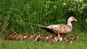Free Mother Duck And Ducklings Stock Photo - 127911770