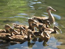 Mother Duck with Babies Royalty Free Stock Photo
