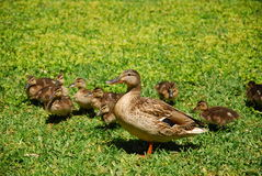 Mother duck and babies Stock Photos