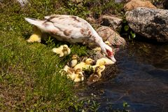 Mother Duck With Babies Stock Photography