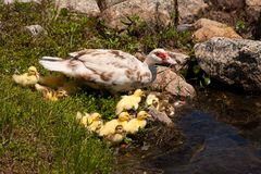Mother Duck With Babies Royalty Free Stock Photos