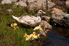 Mother Duck With Babies Stock Photos