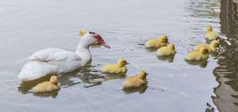 Mother duck and baby ducklings. Stock Photos