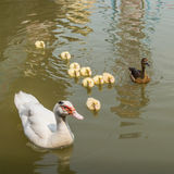 Mother duck and baby ducklings. Swimming in the river Royalty Free Stock Images