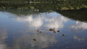 Mother duck with baby ducklings swimming stock video footage
