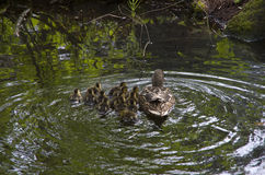Mother duck and baby ducks duckling Royalty Free Stock Photography