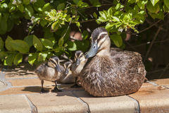Mother Duck with Baby Ducks. Mother Duck is watching over her babies on a pools edge Stock Image
