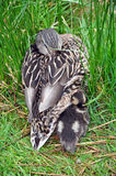 Mother duck and baby Stock Images