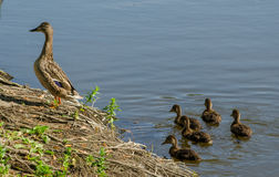 Mother duck being ignored by babies Royalty Free Stock Photos