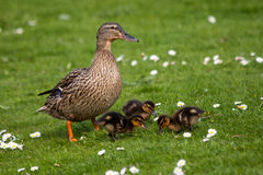 Mother duck with chicks. In the green grass Stock Image