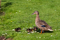 Mother duck with chicks. In the green grass Stock Images