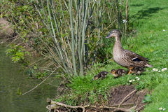 Mother duck with chicks at the lake. In the green Stock Photos