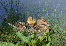 Mother duck and cub. Mother mallard and duckling rests near the lake Stock Photography