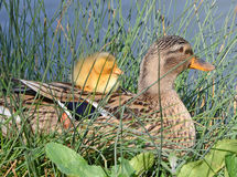 Mother duck and cub. Mother mallard and duckling rests near the lake Stock Images