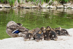 Mother duck and cute ducklings. Resting on the shoreline by the green water Stock Photography