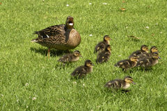 Mother duck defending her nine babies Stock Images