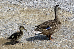 Mother duck and duckling Royalty Free Stock Photo