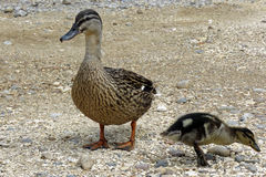 Mother duck and duckling Royalty Free Stock Image