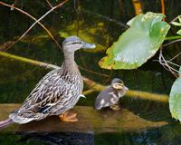 Mother Duck and Duckling Standing on a Wood Log. Duck Family  Mother Duckling Standing Looking Royalty Free Stock Photography