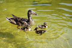Mother Duck with Ducklings. Mother Duck three cute ducklings Stock Photos