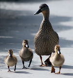 Mother duck and ducklings Royalty Free Stock Photo