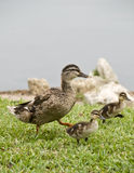 Mother duck and ducklings. Royalty Free Stock Photo