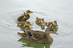 Mother Duck with Ducklings. A mother duck with her ducklings royalty free stock images