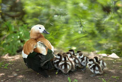 Mother-duck. And ducklings. on the bank of the lake Royalty Free Stock Photography