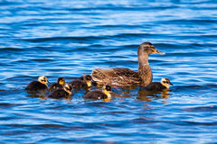 Mother Duck With Ducklings On Blue Water. A mother mallard duck with six ducklings on blue water. Pictured at Whittlingham Lake in Norfolk Royalty Free Stock Photos