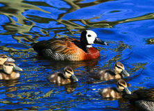 Mother duck with ducklings Royalty Free Stock Photography