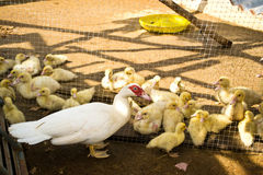 Mother duck and ducklings Royalty Free Stock Photos