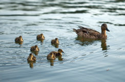 Mother-duck and ducklings Stock Image
