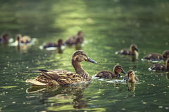 Mother-duck Royalty Free Stock Photography