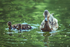 Mother-duck and ducklings Royalty Free Stock Image