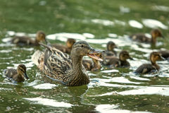 Mother-duck and ducklings Royalty Free Stock Images