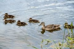 Mother-duck and ducklings Royalty Free Stock Photography
